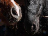 Musi da cavallo