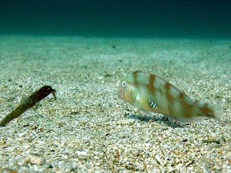 scallop fish a unique fish