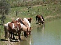 Cavalli di razza islandese