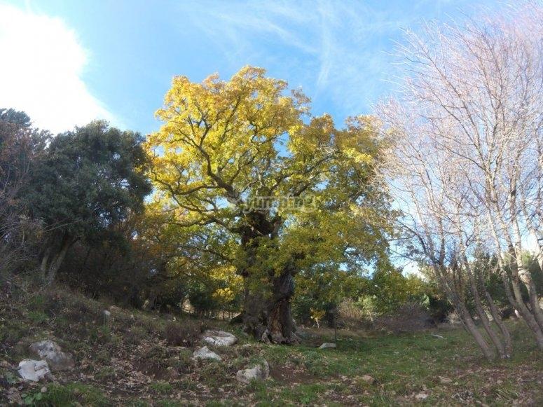albero secolare