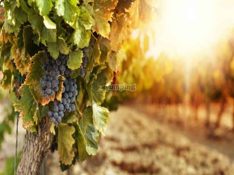 L'uva piú buona d'Italia