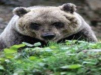Looking For Marsicano Brown Bear