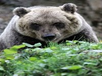 In Search of the Brown Bear Marsicano