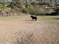 Cavallon nero