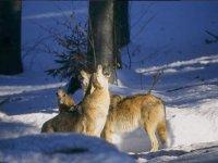 Lupi selvatici