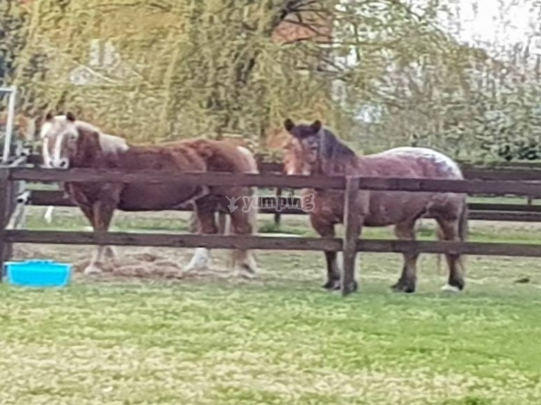 Cavalli nel recinto