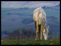 cavallo toscano