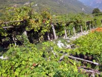 vigne nord italia