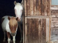 cavalli nel box