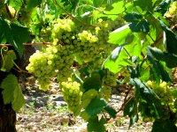 Grapppoli d'uva