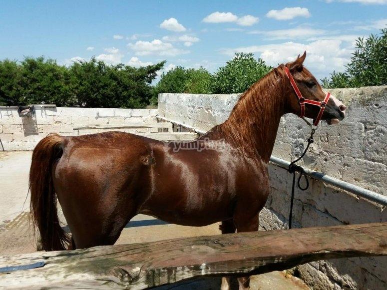 il nostro cavallo arabo