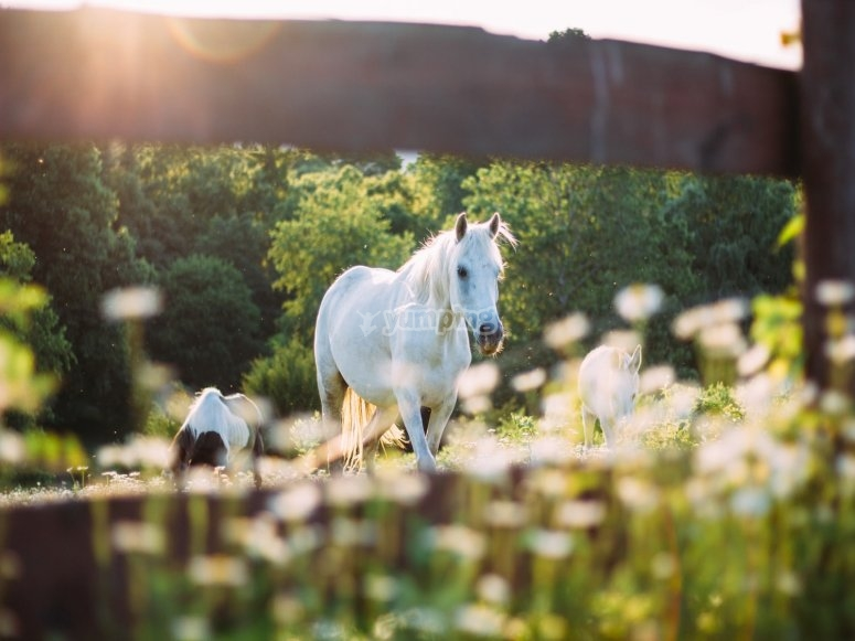 White horse in freedom