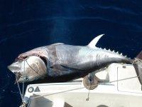 Un tonno rosso di quasi 200 kg