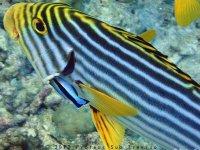 Pesce striato
