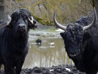 Bufali Indiani e Yak