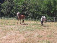 I cavalli nel prato