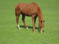Un cavallo che mangia