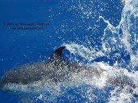 Un delfino Stenella vicino la barca
