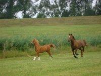 Paddock horses