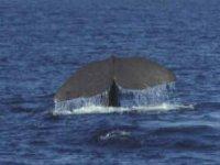 La coda della balena