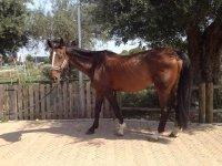 Cavalli docili per scuola di equitazione