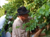 During the vendemmia
