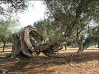 The ancient olive trees