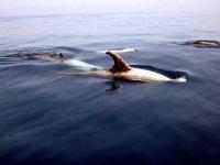 Balenottere comuni