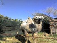Passeggiate con cammelli