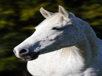 Equini di razza