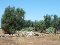 Trekking among the olive trees and the typical Apulian walls