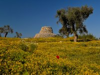 Trulli and olive trees