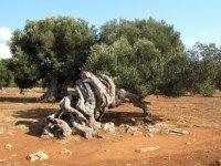 Olive trees of Salento